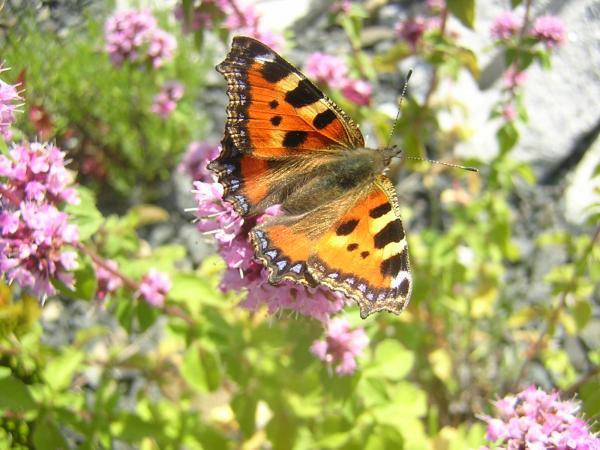 Schmetterlinge V