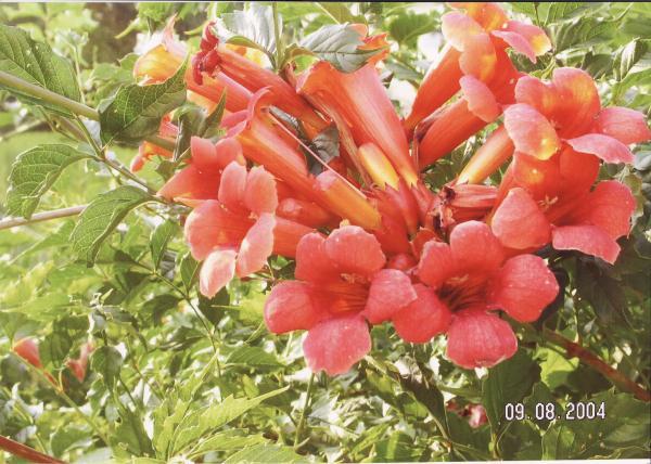 Gartenblume für  die  Biene