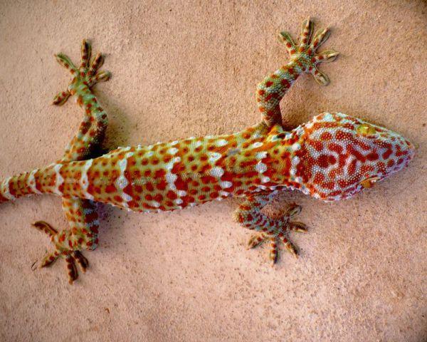Der grosse Gecko