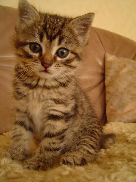 Kampf- Katze