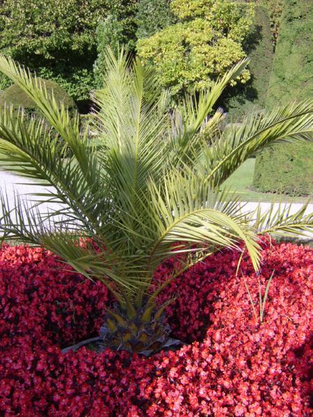 Palme im Park