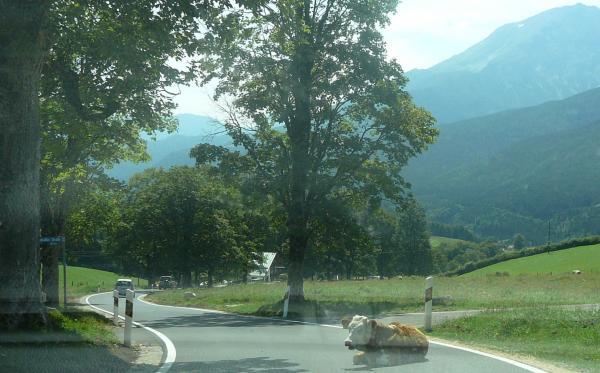 Kuh auf der Strasse