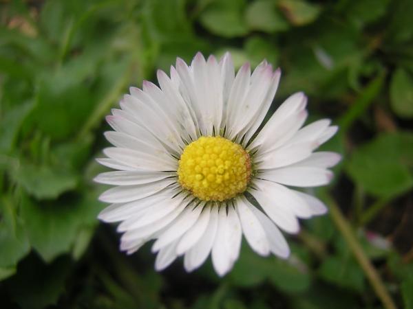 Blume in Rom