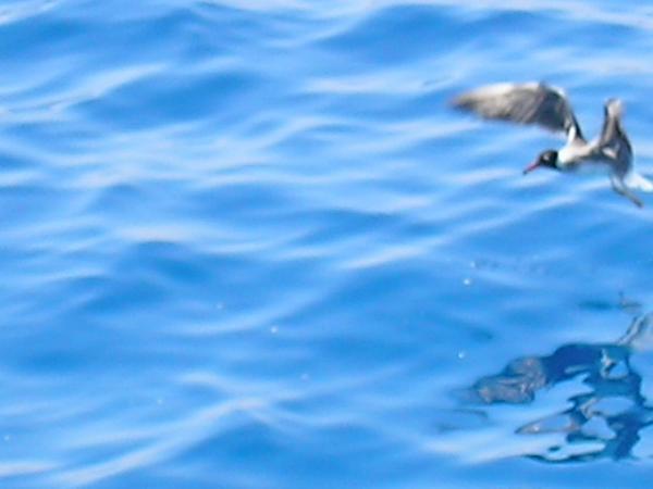 Vogel beim Angriff