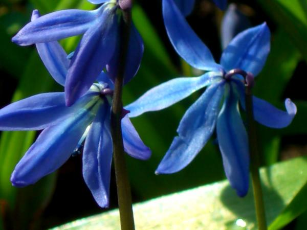 blaue Frühjahrsblumen