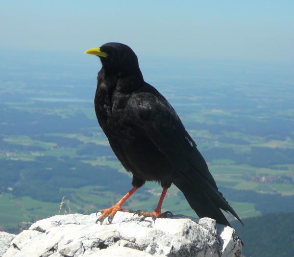 Vogel auf dem Gipfel der Kampenwand
